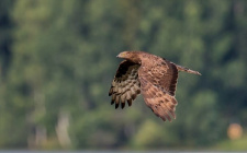 2017_39 mehiläishaukka, European Honey Buzzard; Tampere Finland; copyright Timo Havimo.jpg