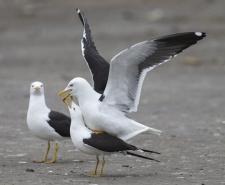 Selkälokki, Lesser Black-backed Gull (Baltic Gull), Larus fuscus (fuscus), Tarastenjärven kaatopaikka, Tampere, Finland, 10.5.2019_3358.jpg